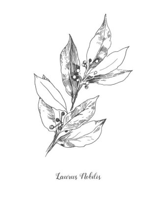 Plakat Vector Botanical illustration of the leafs Laurus Nobilis. Isolated illustration element. Black and white engraved ink art. Vector branch for packaging, texture, wrapper element, frame or border.