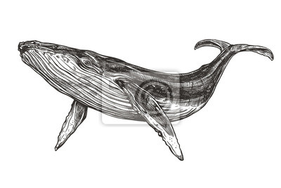 Plakat Vector hand drawn illustration of  humpback whale. Sketch detailed engraving style