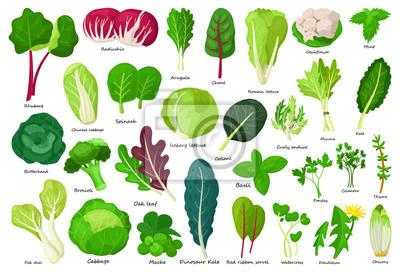 Plakat Vegetable lettuce cartoon vector icon.Illustration of isolated cartoon icon vegetable salad . Vector illustration set lettuce leaf and cabbage.