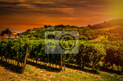 Plakat Vineyard  and grapes bushes in rows. Beautiful sun in the sky