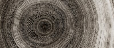 Plakat Warm gray cut wood texture. Detailed black and white texture of a felled tree trunk or stump. Rough organic tree rings with close up of end grain.