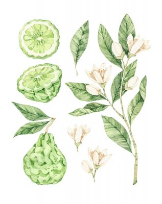 Plakat Watercolor botanical illustrations. Fresh bergamot blossom. Citrus bergamia (flowers, fruit and leaves) collection. Perfect for wedding invitations, cards, prints, posters, packing.