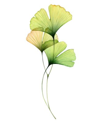 Plakat Watercolor ginkgo branch. Transparent green leaves isolated on white. Hand painted artwork with Maidenhair tree. Realistic and botanical illustration for wedding design