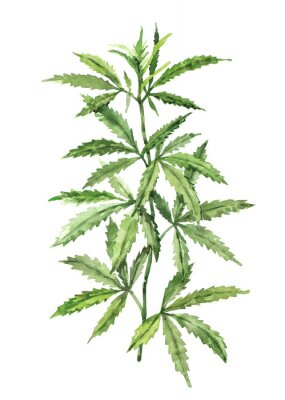 Plakat Watercolor hand-painted botany cannabis leaves and branches illustration on white background