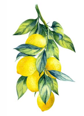 Plakat Watercolor illustrations with lemons isolated on the white background: fruits, branch and leaves.Element for design,card, invitation, poster.