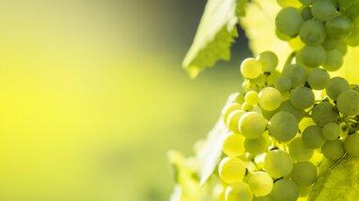 Plakat White grapes