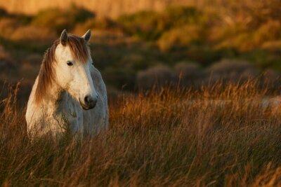 Plakat White horse of Camargue