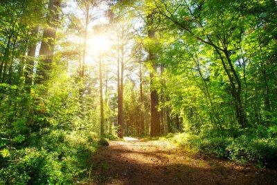 Plakat widok lasu sosnowego i jodłowego w lecie. Droga w parku