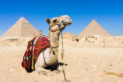Plakat Wielbłąd z piramidami w tle