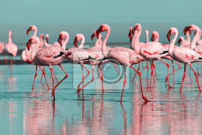 Plakat Wild african birds. Group birds of pink african flamingos  walking around the blue lagoon on a sunny day