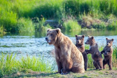 Plakat Wild brown bear family with mama and three standing young cubs.