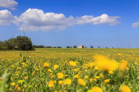 Wiosna: wiejski krajobraz z polem żółte kwiaty, Włochy (Apulia). Wieś z opuszczonym domem wiejskim wśród dandelions zwieńczone chmurami.
