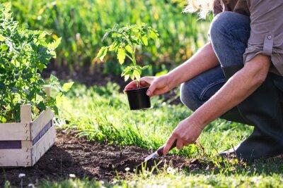 Plakat Woman farmer planting tomato seedling in organic garden. Gardening in spring. Vegetable plants