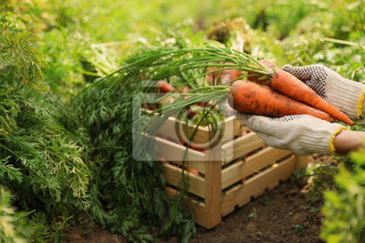 Plakat Woman putting fresh carrots into wooden crate on field, closeup. Organic farming