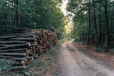 Plakat Wood pile in the forest near logging road or path at sunset