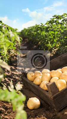 Plakat Wooden crate with raw potatoes in field