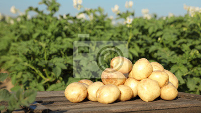 Plakat Wooden crate with raw young potatoes in field on summer day