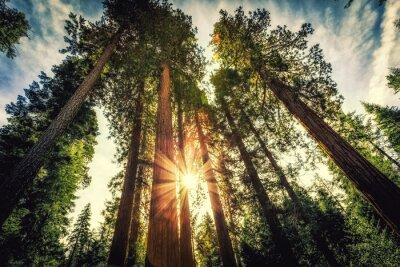 Plakat Wschód słońca na Sekwojach, Mariposa Grove, Park Narodowy Yosemite, Kalifornia