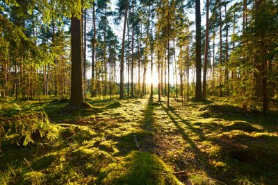 Plakat Wschód słońca w lesie sosnowym