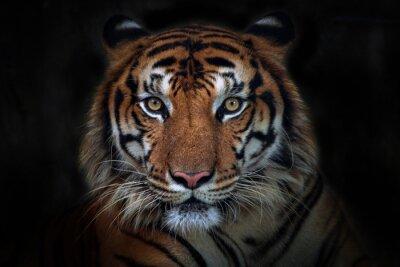 Plakat Wściekły tygrys, tygrys sumatrzański (Panthera tigris sumatrae) piękne zwierzę i jego portret