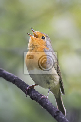 рыжая зарянка поет песню на дереве в парке