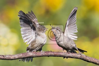 Plakat два воробья дерутся на ветке дерева расправив крылья