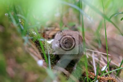 Plakat маленькая мышь прячется в траве в парке