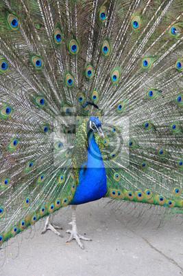 """Самец обыкновенного павлина с раскрытым """"хвостом»"""