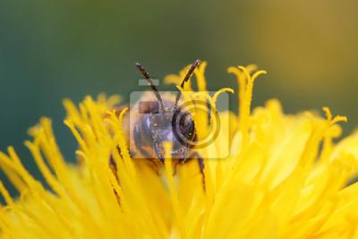 Plakat маленькая пчела в одуванчике собирает нектар