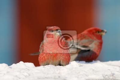 Два самца щура сидят в снегу