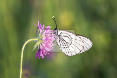 белая бабочка сидит на розовом цветке