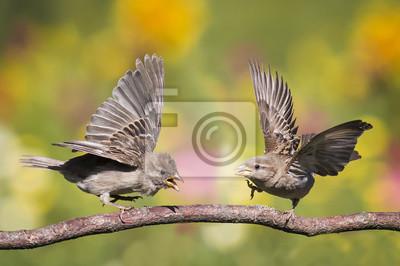 воробьи дерутся на ветке растопырив крылья