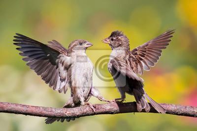 два воробья дерутся расправив крылья