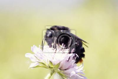 Plakat мохнатый черный шмель на цветке