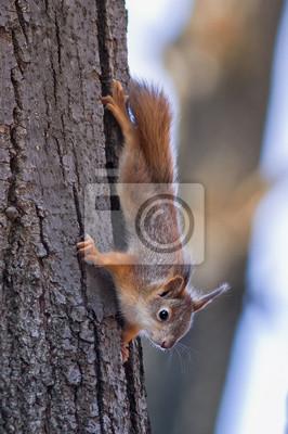 маленькая рыжая белка ползет ďî дереву вниз