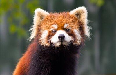 Plakat Красная Панда