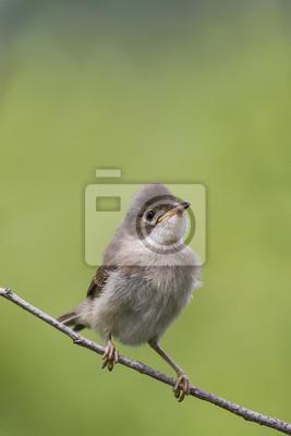 сердитый птенчик