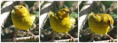 Plakat yellow birds, canario da terra, marilyn monroe