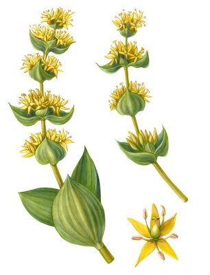 Plakat Yellow Gentian Pencil Illustration Isolated on White