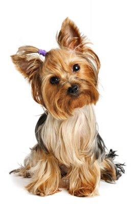 Plakat Yorkshire terrier
