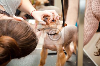 Plakat Yorkshire Terrier Pies Fryzura Salon Piękności Na Wymiar