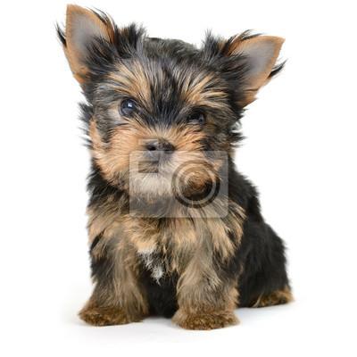 yorkshire terrier pies wyizolowanych na bia? ym tle
