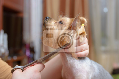 Yorkshire terrier uzyskiwanie jego włosy cięcie na groomer