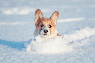 Zabawa szczeniaka czerwonych corgi przebiega przez białe zaspy zabrudzące jego nos i twarz w zimowym parku w słoneczny dzień