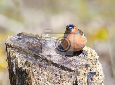 Zabawne chaffinch siedzi na kikut w lesie wiosny
