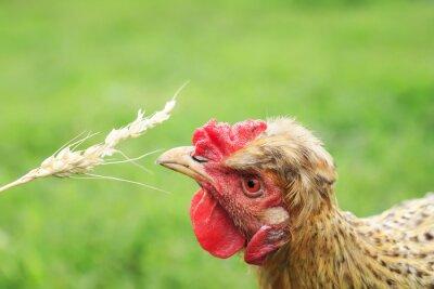 zabawny rudy kurczak zjada ziarna pszenicy z kłoska na podwórku letniej farmy