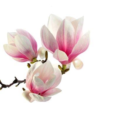 zapach magnolii