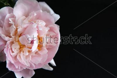 Plakat Zbliżenie piękny różowy kwiat Peonie na czarnym tle