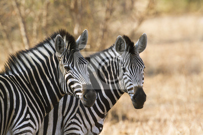 Plakat zebra Burchell w Park Narodowy Krugera
