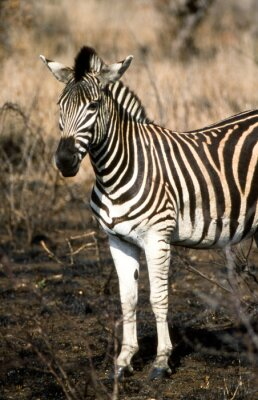 Plakat Zebra (Equus burchellii) del Parco Nazionale del Sud Krugera w Afryce
